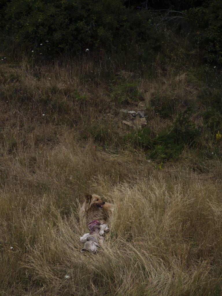 Un perro comiéndose lo que queda de un cordero en Navabellida, Soria
